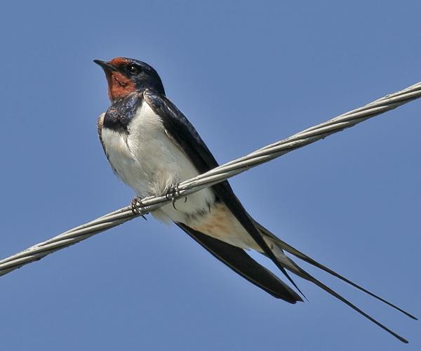 Деревенская ласточка-Hirundo rustica-Swallow.